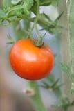 Fresh Tomato Royalty Free Stock Photography