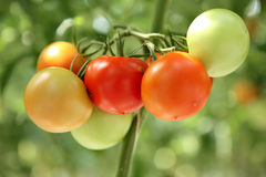 Tomato branch at the hothause macro royalty free stock image
