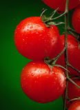 Tomato branch with water drops Stock Images