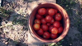Tomato bucket Stock Image