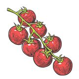 Tomato bunch. Vector engraved illustration  on white background. Royalty Free Stock Image