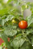 Tomato bush Stock Photography