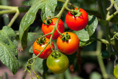 Tomato bush Royalty Free Stock Image