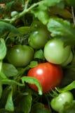 Tomato Bush Stock Image
