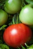Tomato on the bush Stock Photos