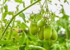 Tomato Bush with green tomatoes on a branch closeup