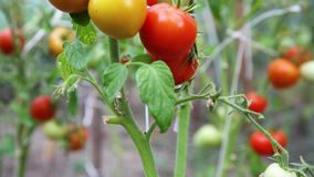 Tomato bush recorded from the stem up stock footage