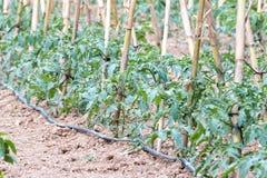 Tomato bush Stock Photo