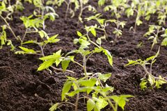 Tomato bush Stock Images