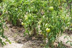 Tomato bushes in garden in summer season Royalty Free Stock Photo