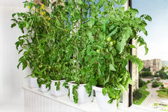 Tomato bushes in pots. Growing tomatoes in pots on the balcony of a city apartment Royalty Free Stock Photos
