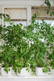 Tomato bushes in pots Royalty Free Stock Image