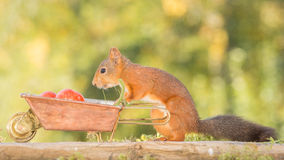 Tomato carrier. Close up of a red squirrel with wheelbarrow and tomato Royalty Free Stock Photo