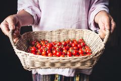 Tomato cherry in basket Tomato in hand South Asia. Nature light Stock Images
