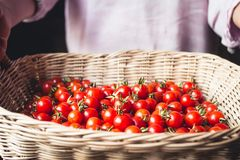 Tomato cherry in basket Tomato in hand South Asia. Nature light royalty free stock photography