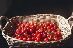 Tomato cherry in basket Tomato in hand South Asia. Nature light stock photos