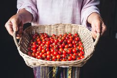 Tomato cherry in basket Tomato in hand South Asia. Nature light royalty free stock images