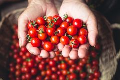 Tomato cherry in basket Tomato in hand South Asia. Nature light royalty free stock image