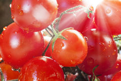 Tomato Cherry / Royalty Free Stock Photo