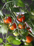 Tomato cherry in garden stock photo