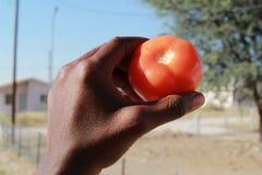 Tomato close up. A hand holding a ripe tomato stock photos
