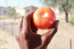 Tomato close up. A hand holding a ripe tomato Royalty Free Stock Photography
