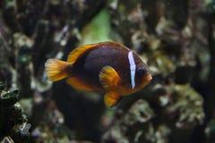 Tomato clownfish Amphiprion frenatus stock photography