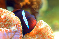 Tomato clownfish Royalty Free Stock Photos