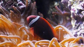 Tomato clownfish and host anemone. A tomato clownfish (Amphiprion frenatus) swims around its host anemone stock footage