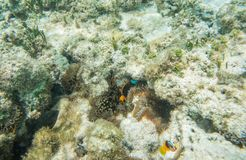 Tropical Clownfish in New Caledonia Coral Reef. Tomato clownfish and anemone coral in the clear underwater reef off Yejele Beach in Tadine, Mare, New Caledonia royalty free stock photography