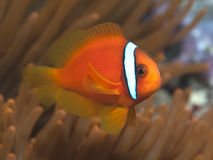 Tomato clownfish Stock Images