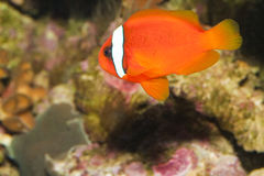 Tomato Clownfish In Aquarium Royalty Free Stock Photos