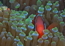 Tomato Clownfish Peers from Green Anemone Stock Photography