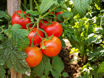 Tomato cluster and crops with stake Stock Images