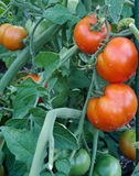 Tomato cluster in the garden Royalty Free Stock Photos