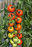 Tomato cluster on vine Stock Photography