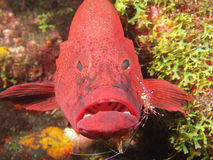 Tomato cod and cleaning shrimps Royalty Free Stock Images