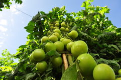 Tomato crop. Beautiful point of view of tomato crop Royalty Free Stock Photography