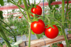 Tomato crop Stock Photo