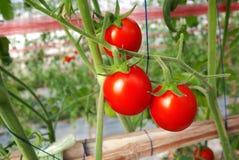 Tomato crop Stock Photo
