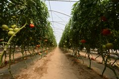 Tomato crop field Stock Image