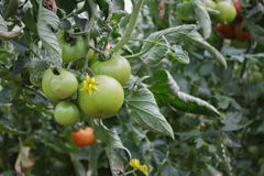 Tomato Crop. With Flower in an Industrial Green House Royalty Free Stock Photo