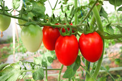 Tomato crop Royalty Free Stock Photography