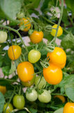 Tomato crop in fruiting stage Stock Photos