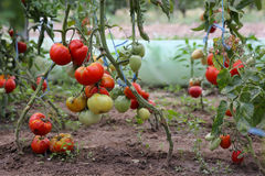 Tomato crop. The growth of tomato plants inside the greenhouse royalty free stock photos