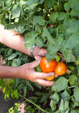 Tomato crop. Hands of a bulgarian farmer showing his tomato crop Royalty Free Stock Images