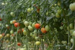 Tomato crop Stock Image