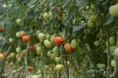 Tomato crop. Tomato plants inside the greenhouse Stock Image