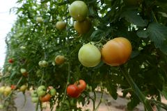 Tomato crop Stock Photography
