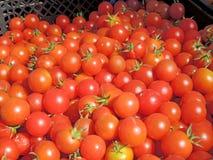 Tomato cultivar Royalty Free Stock Image
